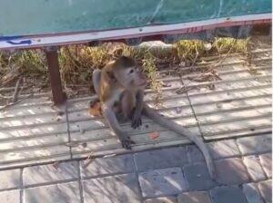 В Анапе сняли на видео обезьяну, гуляющую по улице